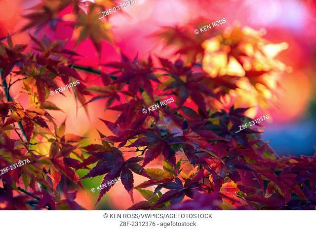 Autumn Leaves, Tatsuno, Kamiina District, Hy?go Prefecture, Nagano, Honshu, Japan