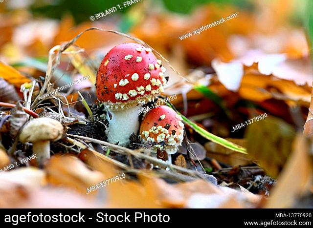Fly agaric (Amanita muscaria) a type of mushroom in the amanita family, poisonous