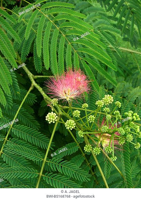 Silk Tree, Pink Siris (Albizia julibrissin), blooming