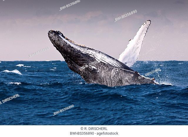 humpback whale (Megaptera novaeangliae), breaching Humpback Whale, South Africa, Indian Ocean, Wild Coast