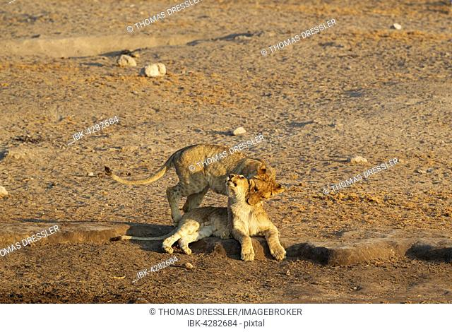 Lions (Panthera leo), two playful cubs near waterhole, Etosha National Park, Namibia