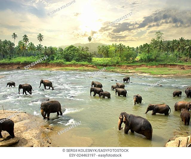 Elephants in water of jungle river, Sri Lanka