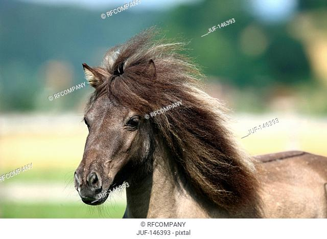 American Miniature Horse - portrait