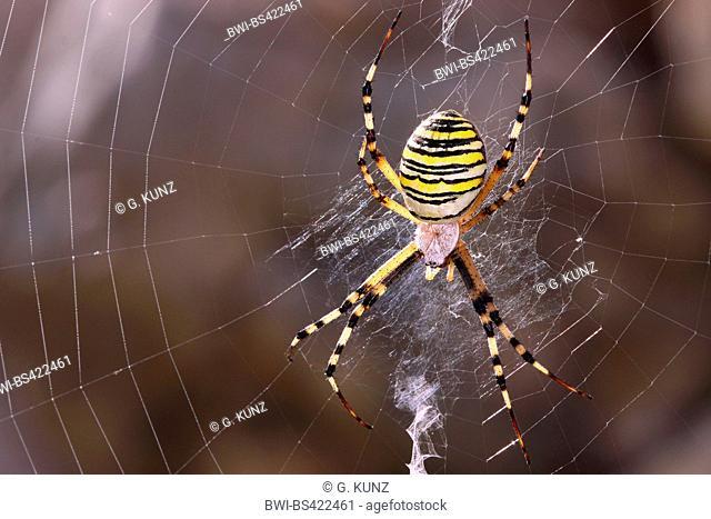 Black-and-yellow argiope, Black-and-yellow garden spider (Argiope bruennichi), in its web, Austria