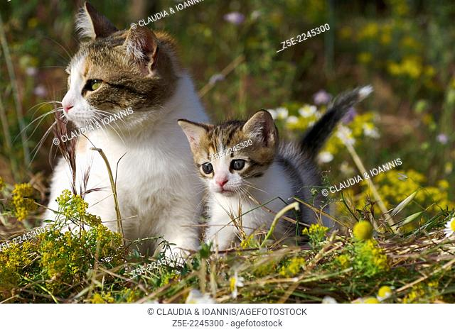 Domestic cat with kitten on mowed meadow