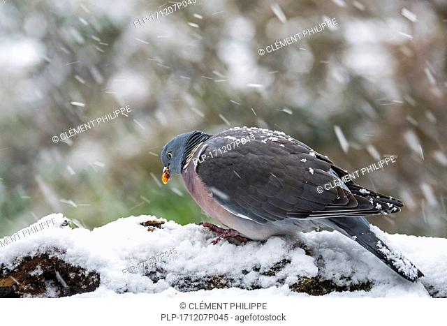 Common wood pigeon (Columba palumbus) perched in tree during heavy snow shower in winter
