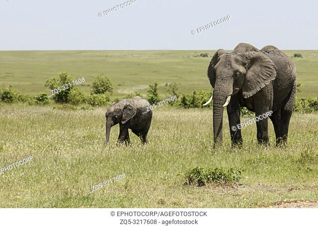 Elephant mother and baby, Maasai Mara, Kenya, Africa