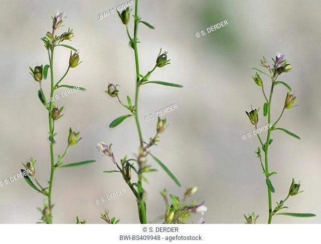 small toadflax, common dwarf snapdragon (Chaenorhinum minus, Chaenarhinum minus), blooming, Germany, Bavaria, Oberbayern, Upper Bavaria