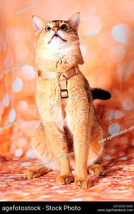 rare chausie cat on background in a lovely cat show