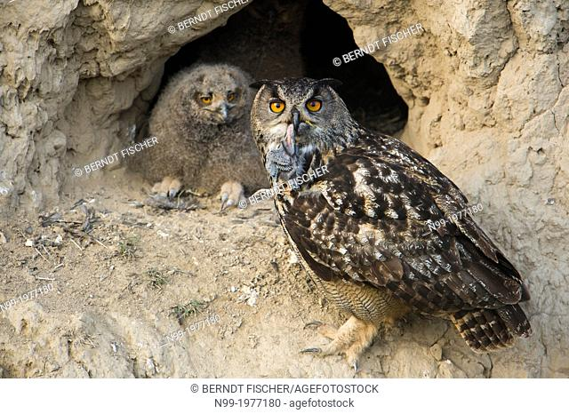 Eagle owl (Bubo bubo), adult with juvenile in front of nesting cavity, adult with juvenile Starling (Sturnus vulgaris) as prey, Bulgaria