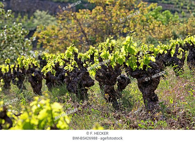 grape-vine, vine (Vitis vinifera), leaf shoot in spring, France, Languedoc-Roussillon