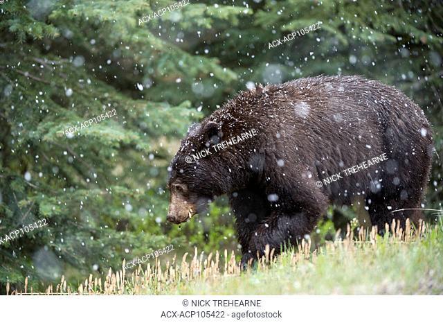 Black Bear, Ursus americanus, Alberta, Canada