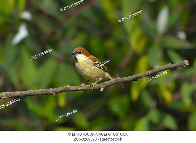 Russet sparrow, Passer cinnamomeus, Sattal, Nainital Uttarakhand, India