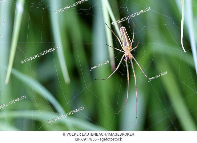 Longjawed Orbweaver (Tetragnatha extensa) in the spiderweb, Mecklenburg-Western Pomerania, Germany