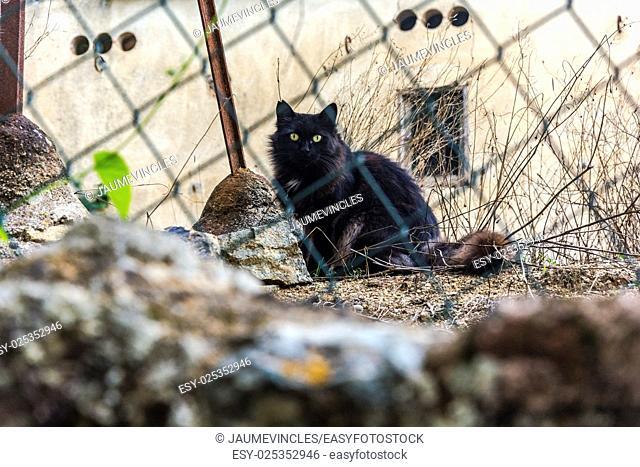 Domestic cat, Caldes d'Estrac, Barcelona province, Spain