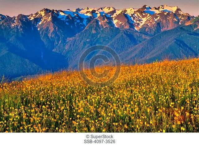 Daisy flowers blooming in front of mountains, Hurricane Ridge, Olympic National Park, Washington State, USA