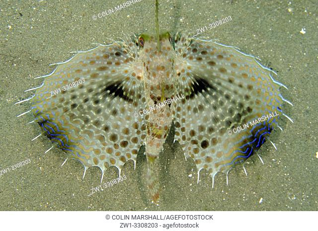 Flying Gurnard (Dactyloptena orientalis) displaying pectoral fins on sand, Laha dive site, Ambon, Maluku (Moluccas), Indonesia