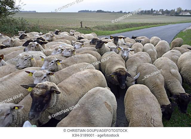 troupeau de moutons traversant une route de campagne, departement d'Eure-et-Loir, region Centre-Val de Loire, France, Europe/flock of sheep crossing a country...