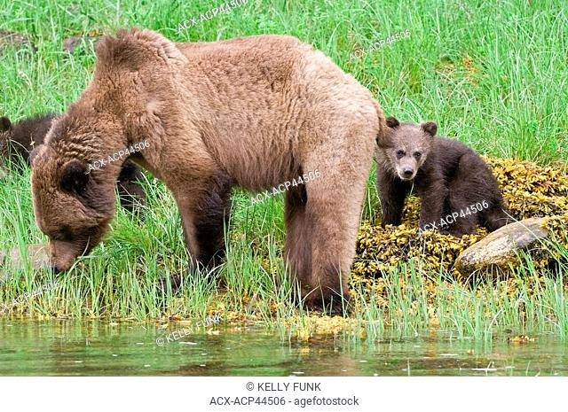 A Grizzly sow ursus Arctos and her two cubs enjoys the lush Sedge grasses in the Khutzeymateen protected Grizzly preserve, North of Prince Rupert