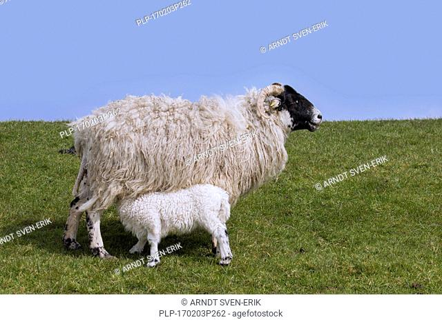 Domestic sheep ewe with suckling lamb in meadow