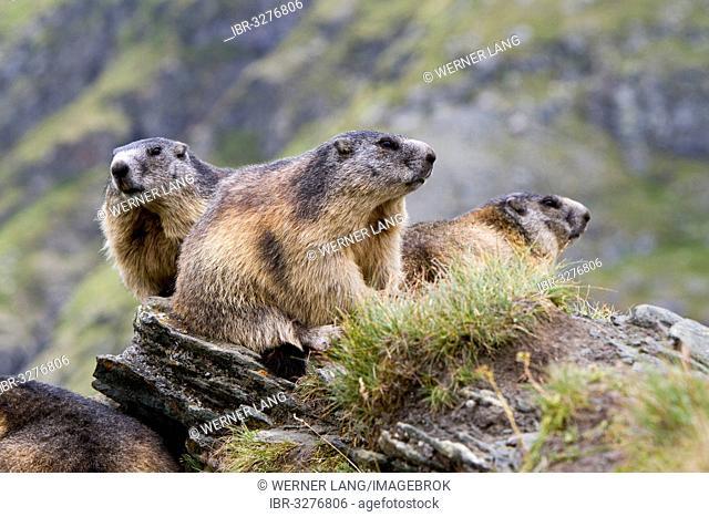 Three Alpine Marmots (Marmota marmota)