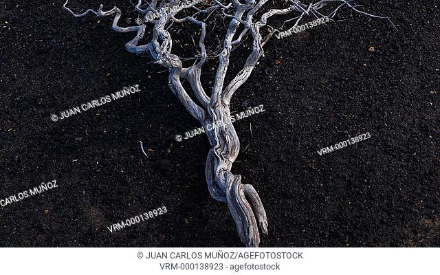 Vegetation on volvanic lavas