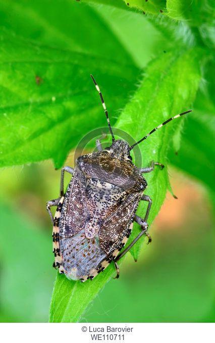 Dolycoris baccarum - Sloe bug