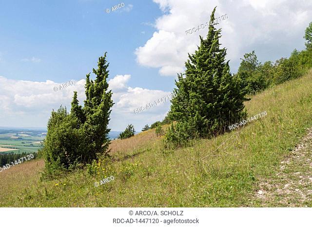 juniper moorland, Hesselberg, Ansbach, Central-Franconia, Franconian Alps, Wassertruedingen, Bavaria, Germany