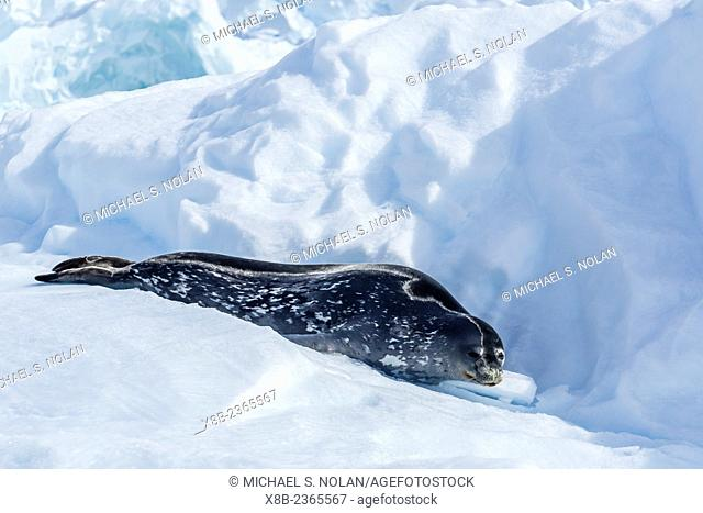 Adult Weddell seal, Leptonychotes weddellii, resting on ice in Paradise Bay, Antarctica