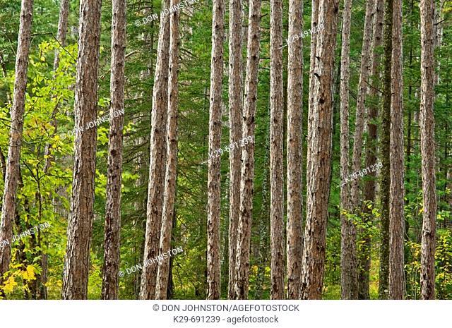 Red pine trunks (Pinus resinosa)