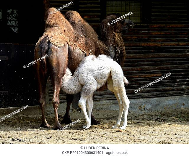 Female calf of Bactrian camel (Camelus bactrianus) called Masafi (white) and her mother Marysza are seen in the Olomouc Zoo, Czech Republic, on Aprol 30, 2019