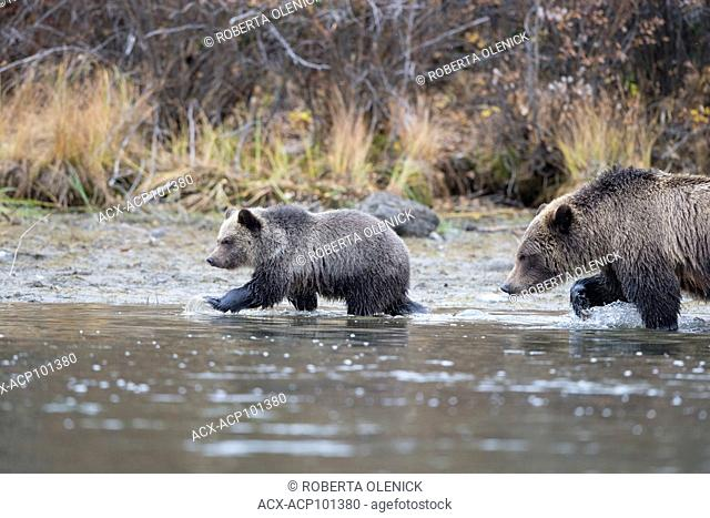 Grizzly bear (Ursus arctos horribilis), female and cub of the year, stalking an off-camera gull (Larus argentatus), Central Interior, British Columbia, Canada