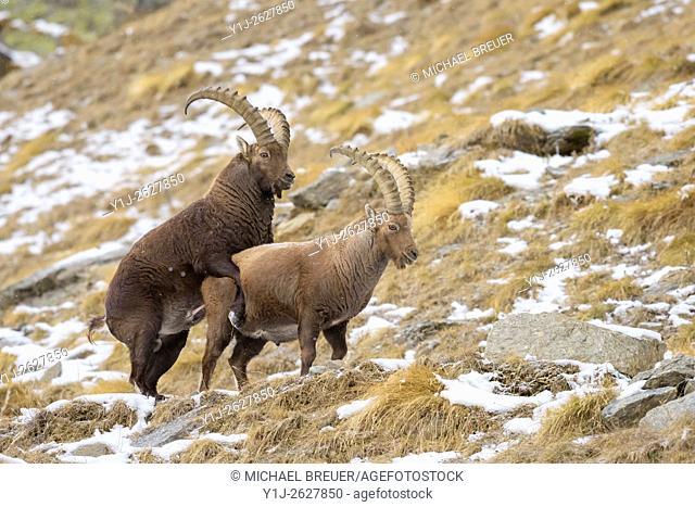 Alpine Ibex (Capra ibex), Male, Gran Paradiso National Park, Alps, Italy, Europe