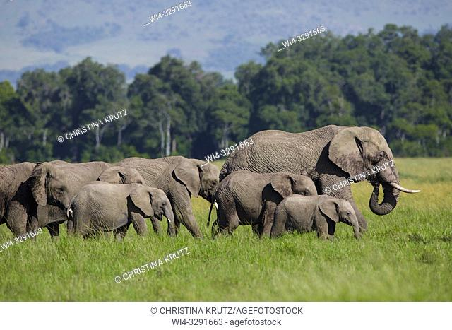 African elephants (Loxodonta africana) walking in Maasai Mara National Reserve, Kenya, Africa