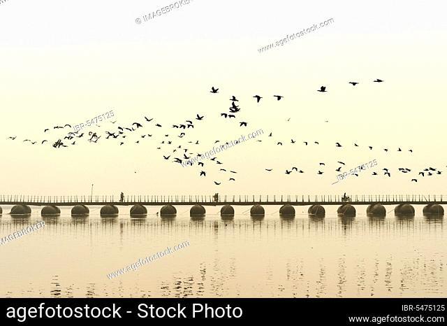 Flock of cormorants over the Ganges at sunrise, Allahabad Kumbh Mela, world's largest religious gathering, Uttar Pradesh, India, Asia