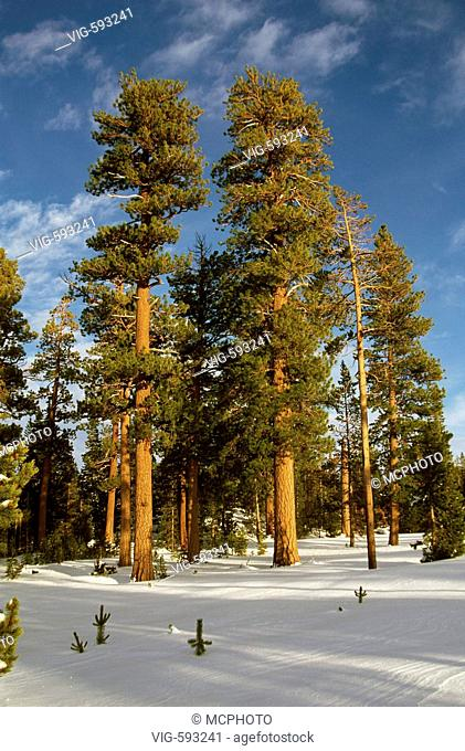 PONDEROSA PINE TREES in a MEADOW of SNOW in THREE SISTERS WILDERNESS in the CASCADES - OREGON - 08/08/2005