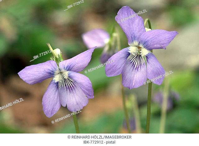 Heath Violet (Viola canina), Stamser Eichenwald, Tyrol, Austria, Europe