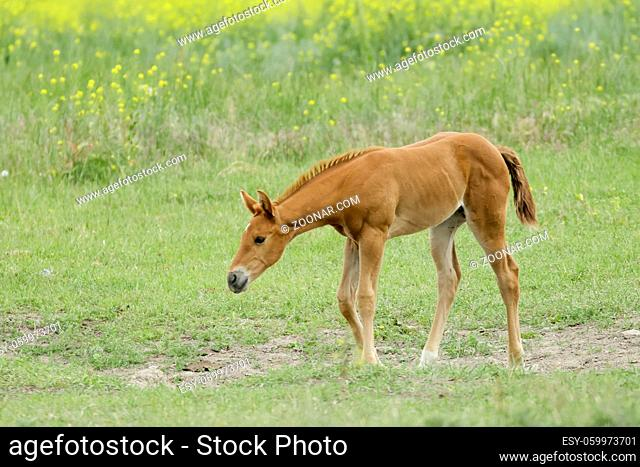 A cute chestnut colored pony is walking in a pasture near Polson, Montana