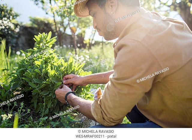 Man harvesting sage in the garden