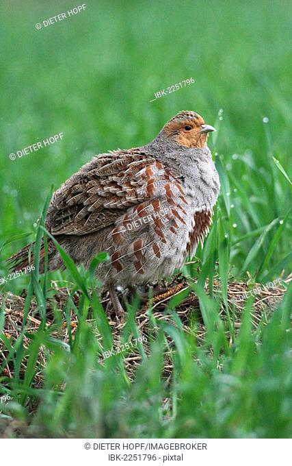 Partridge (Perdix perdix), standing in a field, Lower Austria, Austria, Europe