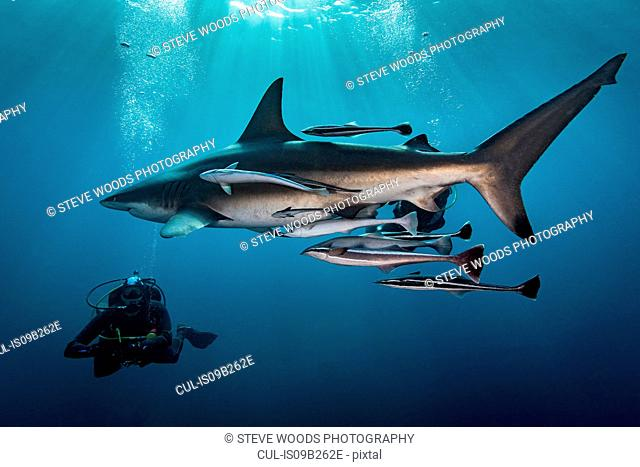 Large Oceanic Blacktip Shark (Carcharhinus Limbatus) circling diver, Aliwal Shoal, South Africa