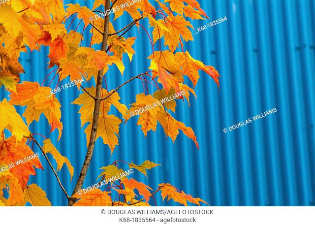 colourful leaves in fall