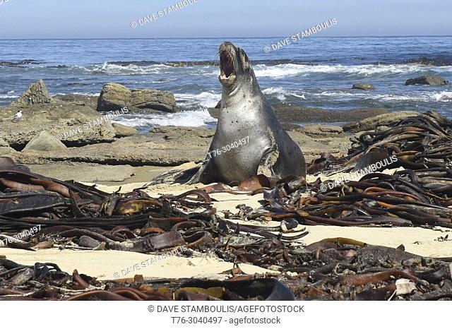 Seal on the beach, Waipapa Point, Catlins, New Zealand