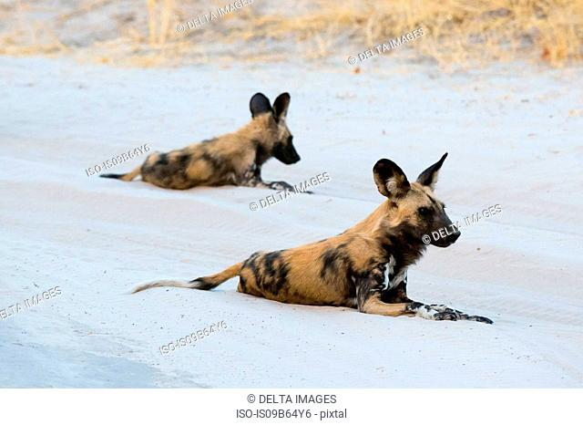 Two African wild dogs (Lycaon pictus), resting, Savuti, Chobe National Park, Botswana, Africa