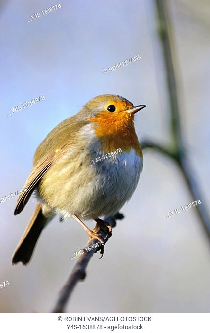 Puffed up Robin bird perching on tree branch in the cold January weather, Surrey, England, United Kingdom