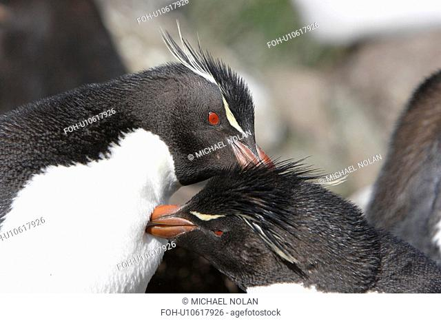 Rockhopper Penguin Eudyptes chrysocome mutually preening at Devil's Nose on New Island in the Falkland Islands, South Atlantic Ocean