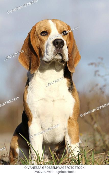 Portrait of a sitting Beagle dog