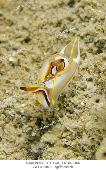 Headshield Slug (Siphopteron sp. ) on sand, Dili Rock East dive site, Dili, East Timor (Timor Leste)