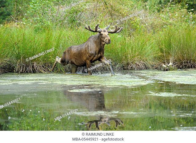 Moose, Elk, Alces alces, Bull in Pond, Germany