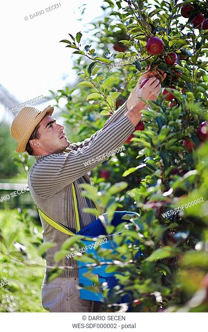 Croatia, Baranja, Young man picking apples from an apple orchard